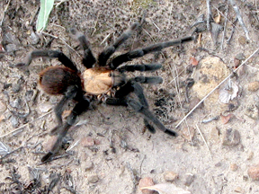 Tarantula near Beulah, Colorado (photo by Patrice Rhoades-Baum)