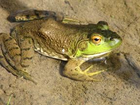 Frog--photo by Patrice Rhoades-Baum