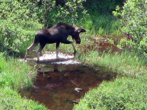 Moose-photo by Patrice Rhoades-Baum