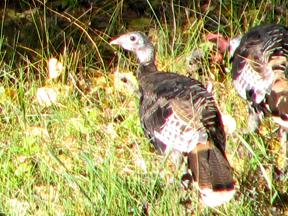Wild turkey (photo by Patrice Rhoades-Baum)