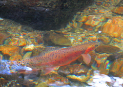 Native to Rocky Mountain National Park, this  greenback cutthrout trout is federally listed as endangered. I did not enhance the colors of this guy - he swam into the sunlight and flashed brilliant red!